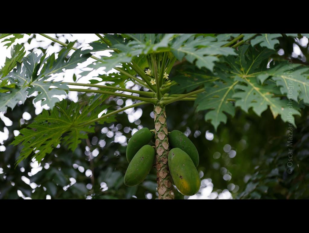 Papaya Tree Image source - https://www.flickr.com/photos/mazzarello/6102284331/sizes/l
